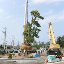 大木移植 シイノキ