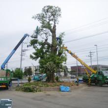 大木剪定 シイノキ