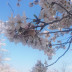 20180403木場潟桜