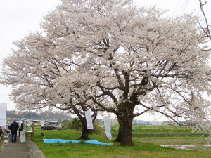 鵜川古代桜